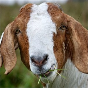 goat_eating_grass
